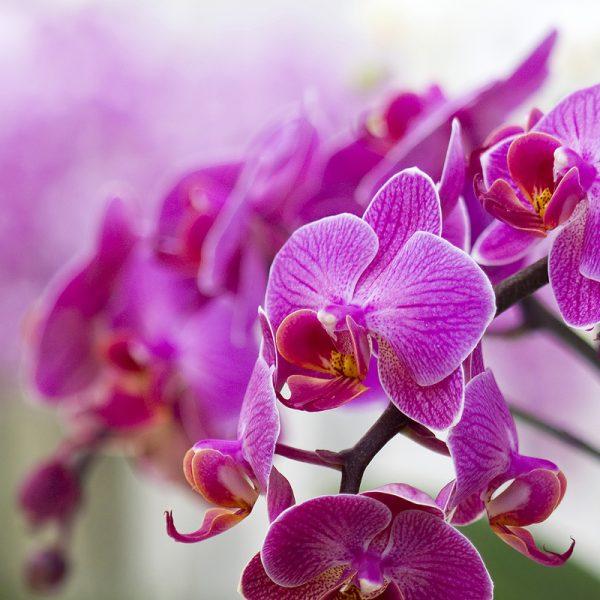 Orchid Cross 1