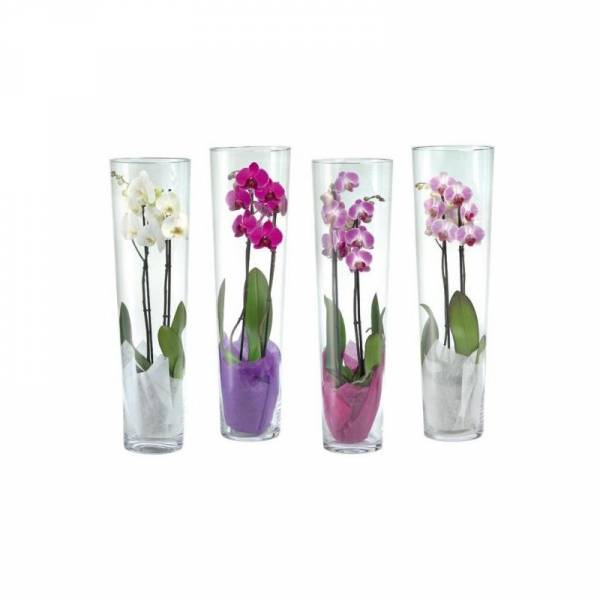 Orchid Plant In A Cylinder Vase 1