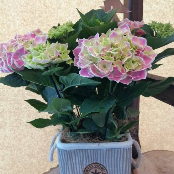 Pink Hydrangea Plant in a Ceramic Pot - Best Buds Florist