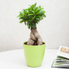 Ficus - Ginseng Tree 5