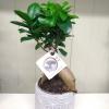 Ficus - Ginseng Tree 3