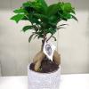 Ficus - Ginseng Tree 2