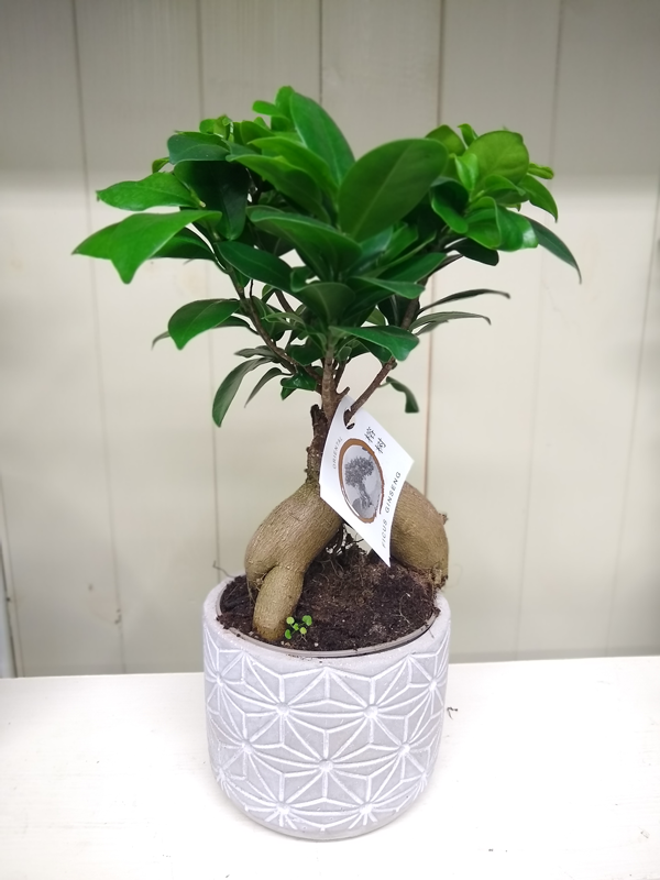 Ficus - Ginseng Tree 1